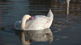 Beautiful white swan stock video footage