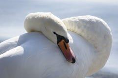 Beautiful white swan Royalty Free Stock Image
