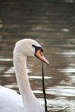 A Beautiful White Swan Eating Lake Grass Stock Image
