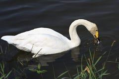 Beautiful white swan eats fish. Altai Royalty Free Stock Photos