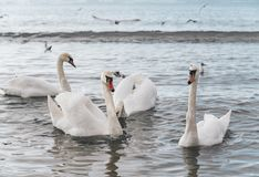 Beautiful white swan with family, seagulls royalty free stock image