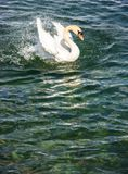 Beautiful white swan flapping its wings in the lake background Stock Images