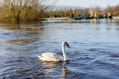Beautiful white swan Royalty Free Stock Photography