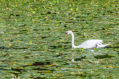 Beautiful white swan. Floating on the river Stock Photography