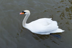 Beautiful white swan floating on the smooth surface of the water. Spring day Stock Photography