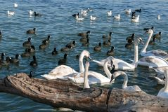 Beautiful white swan flock swimming in the river in Belgrade Stock Photography