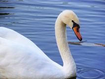 Beautiful white swan. Graceful majestic white swan on the pond Stock Image