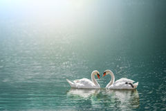 Beautiful white swan in heart shape on lake in flare light Royalty Free Stock Photos