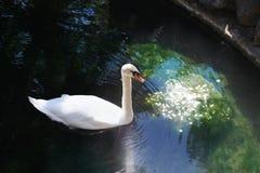 Beautiful white swan in lake Stock Image