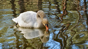 Beautiful white swan on lake drinks a water. Mute swan floating on a lake and drinks a water.Texture of feathers. Reflection in the water Royalty Free Stock Photography