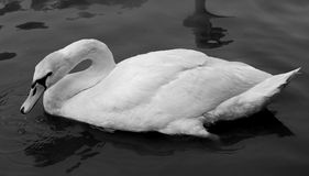 Beautiful white swan Stock Images