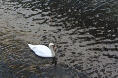 A lonely white swan from above. A beautiful white swan, pictured from above, on a small lake in the centre of Oslo, Norway Stock Images