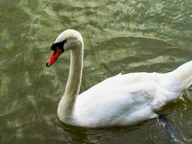 White swan on a pond swimming in greenish water royalty free stock image