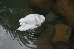 Beautiful white swan in the pond with stones. In high quality Royalty Free Stock Photography