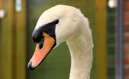 Beautiful white swan portrait Stock Image