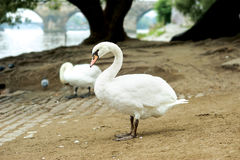 Beautiful white swan posing against of Charles bridge behind on Royalty Free Stock Photos