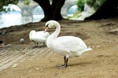 Beautiful white swan posing against of Charles bridge behind on Royalty Free Stock Photos