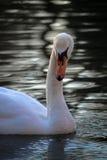A Beautiful White Swan Posing Stock Photo