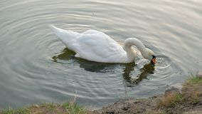 Beautiful white swan with red beak swimming in lake. Wild animal eats grass and drinks clean water. stock video