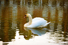 Beautiful white swan reflected in water Royalty Free Stock Photography