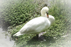 Beautiful White Swan. On the River Bank Stock Photos