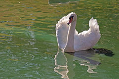 A beautiful white swan's image reflects in water. Royalty Free Stock Image