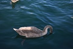 The beautiful white swan at sea royalty free stock image