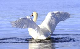 White swan. Beautiful white swan showing it's wings in Norway in April 2013 Stock Photo