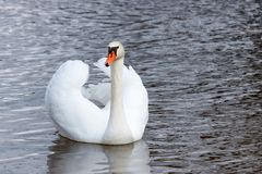 Beautiful white swan shows the feathering on the wings Stock Photography