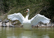 Beautiful white swan stretching after a preening session on a big lake. Beautiful big white adult swan standing and stretching out its wings after preening royalty free stock photography