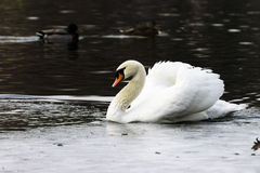 Beautiful white swan swim in the lake. On the dark surface of the water. Horizontal contrast picture Royalty Free Stock Images