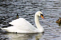 Beautiful white swan swim in the lake. On the dark surface of the water. Horizontal contrast picture Royalty Free Stock Image