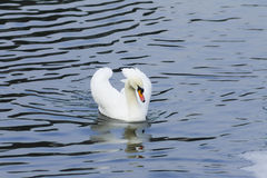 Beautiful white swan swim in the lake. On the dark surface of the water. Horizontal contrast picture Royalty Free Stock Photos