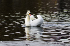 Beautiful white swan swim in the lake. On the dark surface of the water. Horizontal contrast picture Stock Photo