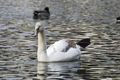 Beautiful white swan swim in the lake. On the dark surface of the water. Horizontal contrast picture Stock Images