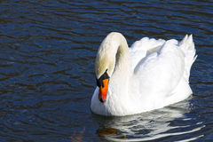 Beautiful white swan swim in the lake. On the dark surface of the water. Horizontal contrast picture Stock Photography