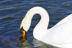 Beautiful white swan swim in the lake, on the dark surface of the water Royalty Free Stock Image
