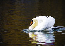 Beautiful white swan swim in the lake, on the dark surface of the water. Horizontal contrast picture.  Royalty Free Stock Photos