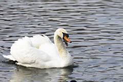 Beautiful white swan swim in the lake. On the dark surface of the water. Horizontal contrast picture Stock Photos