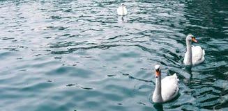 Beautiful white Swan is swiming on crystal blue lake , Zurich lake stock photo