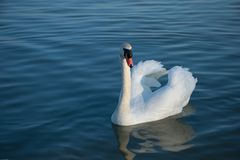 Beautiful white swan swimming in the blue water of the calm lake. Beautiful white swan Mute swan, Cygnus olor with raised wings swimming in the blue water of stock images