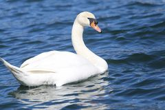 Beautiful White Swan swimming in the clear water Royalty Free Stock Photo