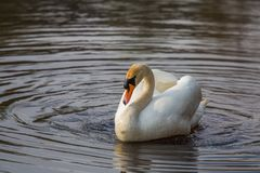 A Beautiful white swan swimming and feeting in the river in spring. Bird portrait in landscape Royalty Free Stock Image