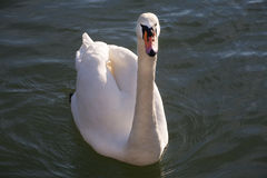 Beautiful white swan swimming in front Royalty Free Stock Photography