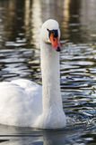Beautiful white swan swimming on the lake Stock Images