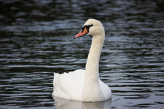 Beautiful White Swan Swimming in Lake Royalty Free Stock Photography