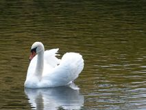 White Swan in Denmark Lake. Beautiful white swan swimming in a lake near Kronborg Castle in Denmark Royalty Free Stock Photos