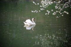 Beautiful white swan Stock Photos