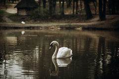Beautiful white swan swimming in a pond at British wildlife park Royalty Free Stock Photography