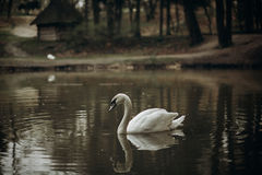 Beautiful white swan swimming in a pond at British wildlife park Royalty Free Stock Photo